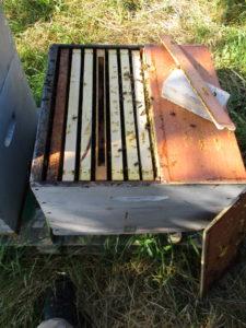 ouverture ruche elevage de reine